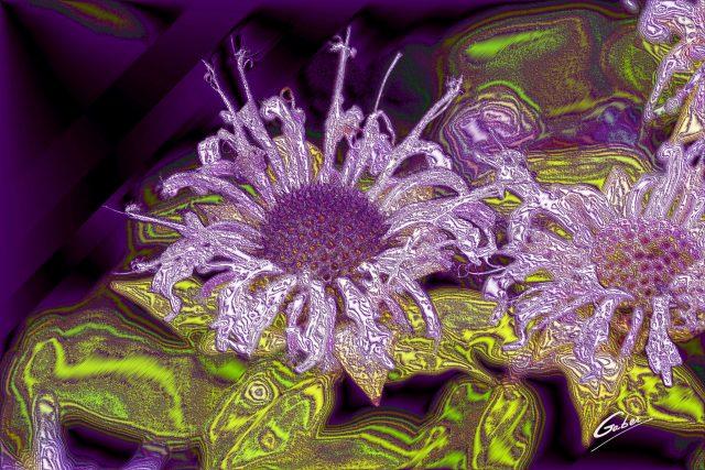 Monarda  Violet  Queen  04