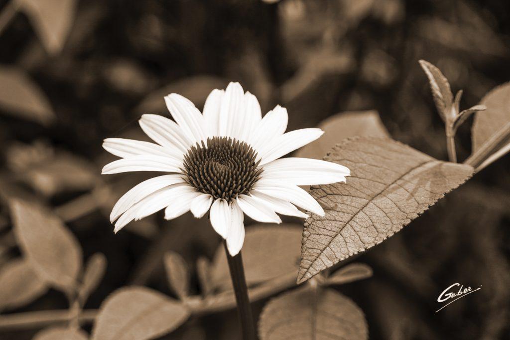 White Coneflower (Echinacea  simulata)  06