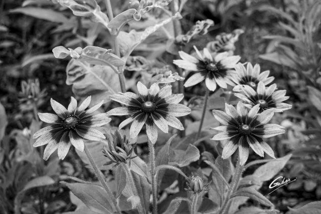 Blackeyed susan(Rudbeckia hirta) 03