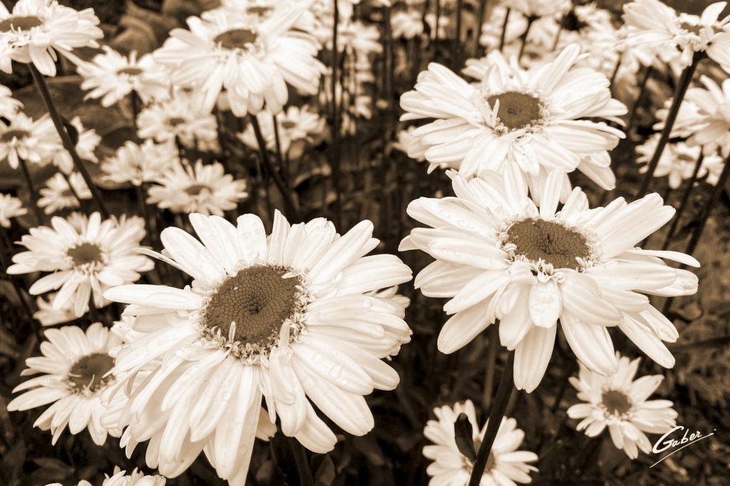 Daisy Oxeye (Leucantherum vulgare) 03