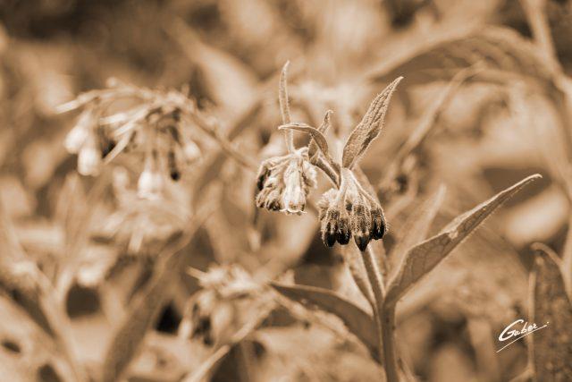 Common Comfrey (Symphytum officinale) 02