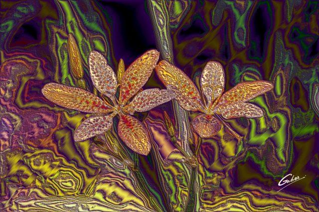 Blackberry Lily (Iris domestica) 03