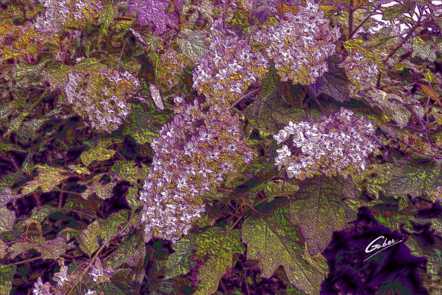 Oakleaf Hydrangea (Hydrangea squercifolia) 02