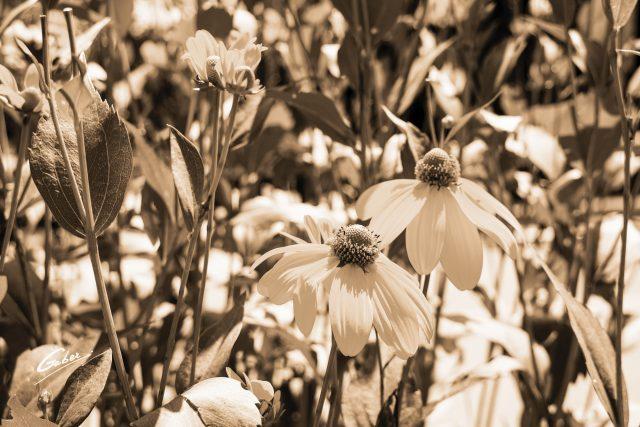 California Coneflower (Rudbeckia californica) 08