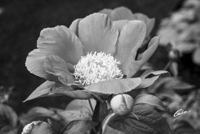 Paeonia sterniana  04
