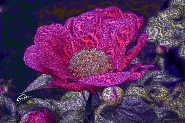 Paeonia sterniana  06