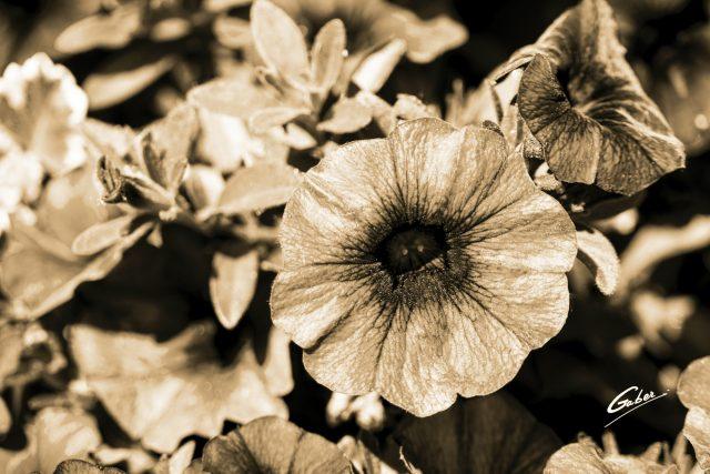 Petunia  grandiflora  01