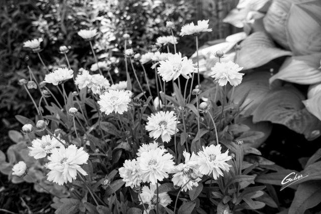 Tickseed (Coreopsis grandiflora) 02