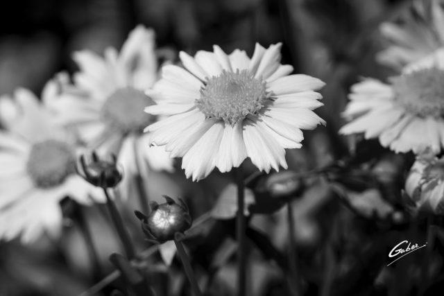 Tickseed (Coreopsis grandiflora) 04