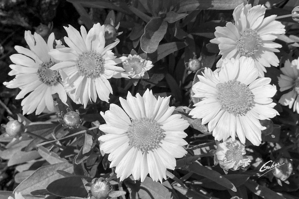 Tickseed (Coreopsis grandiflora) 05