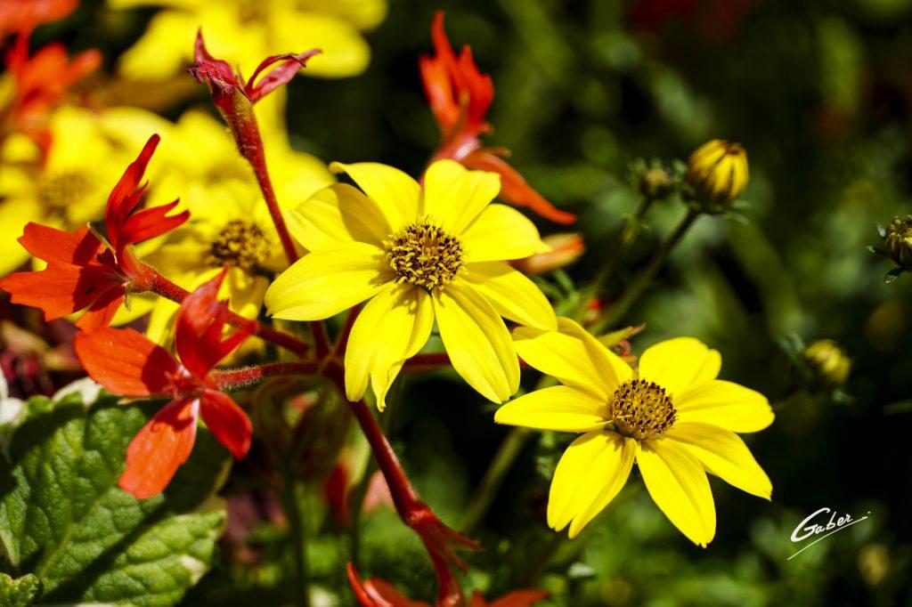 Woodland  Sunflower (Helianthus  strumosus) 01
