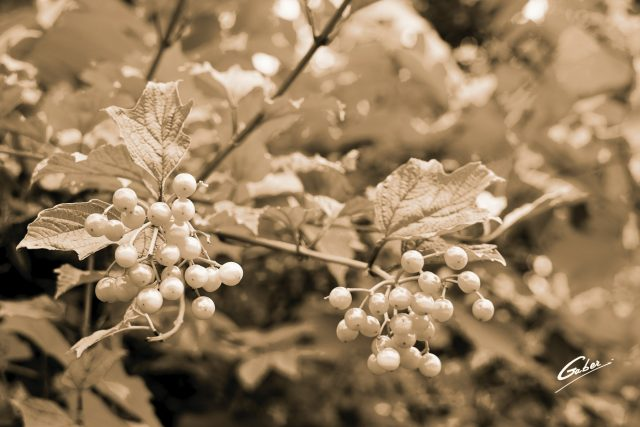 Compact Guelder Rose (Viburnum  opulus  compactum) 02