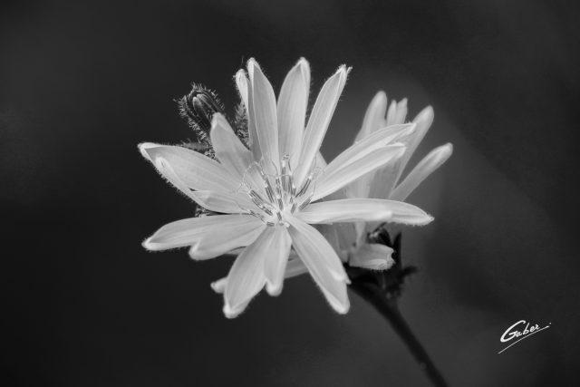 Cultivated Endive (Cichorium endivia) 01