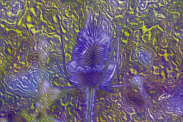 Dipsacus  sativus  fullonum Flower  03