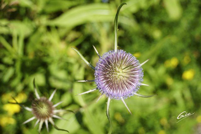 Dipsacus  sativus  fullonum Flower  02