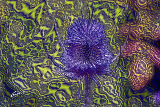 Dipsacus  sativus  fullonum Flower  01