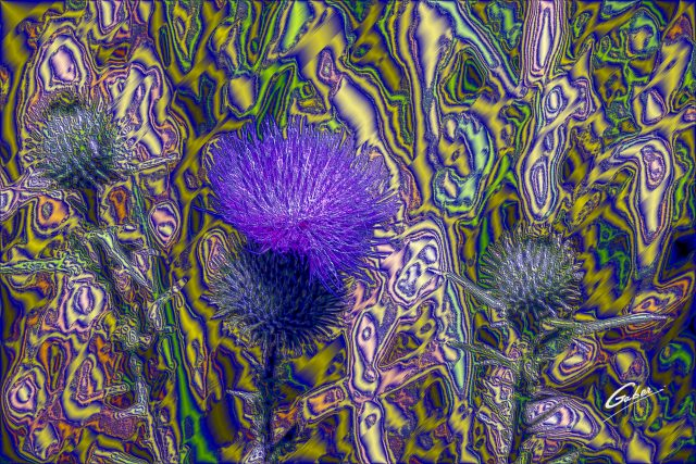 Field Thistle (Cirsium discolor) 02