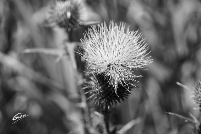 Field Thistle (Cirsium discolor) 03