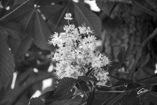 Horse Chestnut (Aesculus  chippocastanum) 01