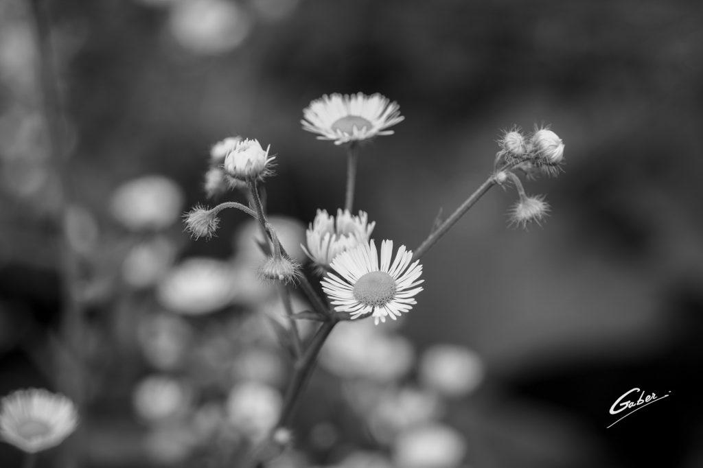 Prairies  Fleabane (Erigeron annuus) 01