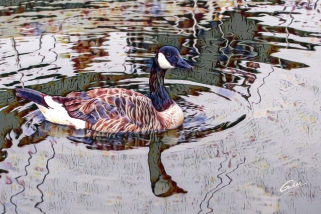 Canada Geese 01