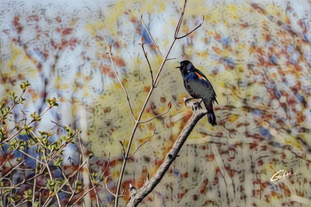 Red winged Blackbird (Agelaius phoeniceus) 02
