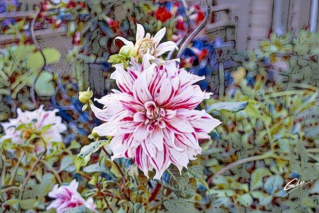 Begonia cordelia 02