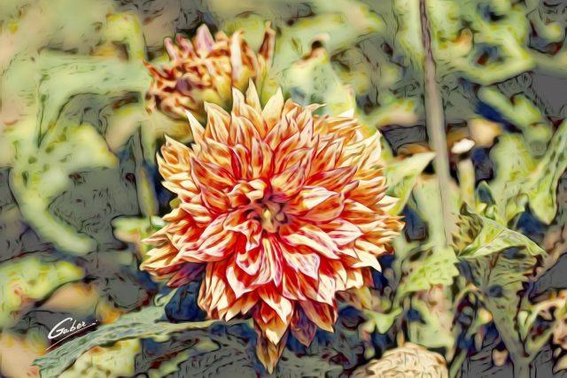 Begonia cordelia 12