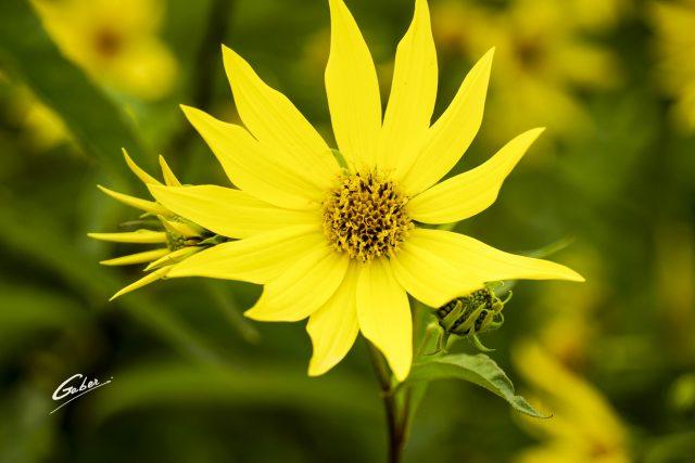 Sunflower woodland (Helianthus strumosus) 07