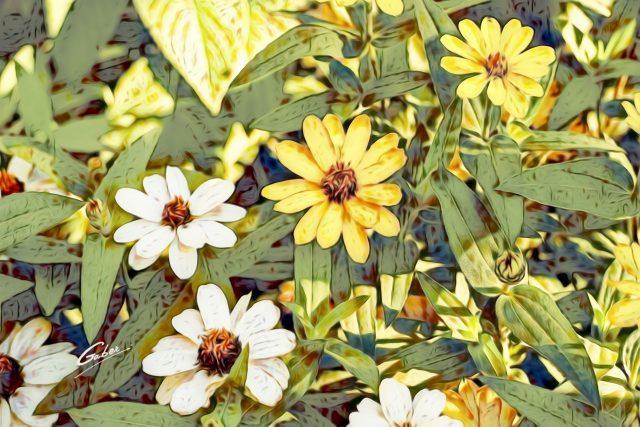 Zinnia angustifolia 02
