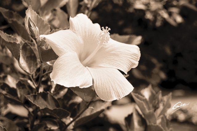 Hibiscus rosa sinensis  06