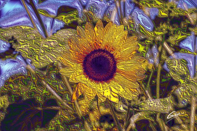 Sunflower (Helianthus  annuus) 04