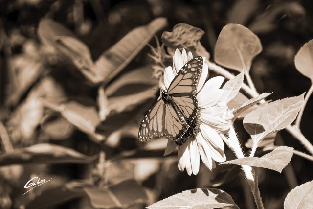 Monarch butterfly (Danaus plexippus) on Sunflower (Helianthus  annuus) 01